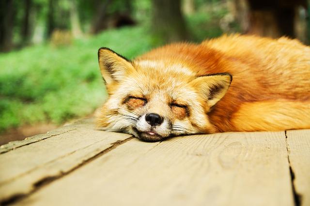 sleepy-fox
